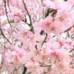 一足早く咲いた「満開の桜」をお楽しみ下さいませ♪
