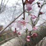 """<span class=""""title"""">ひとあし早く天拝の郷の沿道の桜が咲き始めました。春本番もすぐそこまで来ていて、満開が楽しみですね。</span>"""